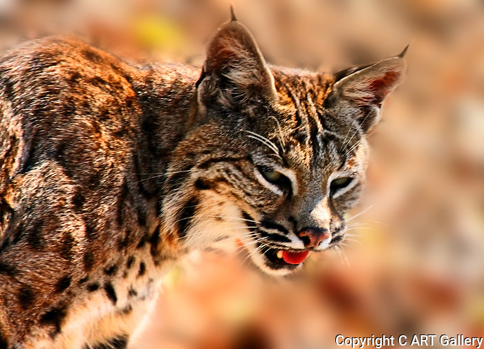 Up close and personal: unhappy wildcat is caught out in the open, Upper Newport Bay, CA.
