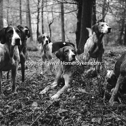 The Blencathra foxhounds. Near Braithwaite, Cumbria England...