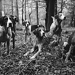 The Blencathra foxhounds. Near Braithwaite, Cumbria England 2000s