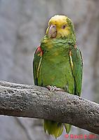0523-07ww  Yellow-headed Amazon Parrot - Amazona ochrocephala - © David Kuhn/Dwight Kuhn Photography