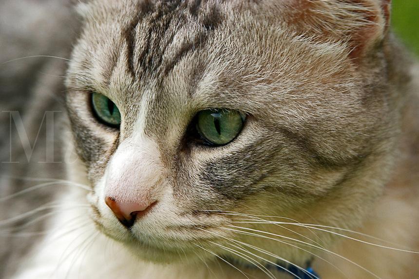 Grey/gray tabby cat, close up of face..