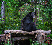 """Apparently foraging can be hard work.  This large adult Black Bear (Ursus americanus) needed a break, so it plopped down on a log """"seat."""""""