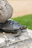 BNPS.co.uk (01202) 558833.<br /> Pic: NT/JamesDobson/BNPS<br /> <br /> One of the replica tortoises commissioned after the 1992 theft at Kingston Lacy in Dorset<br /> <br /> Slow and steady wins the race...<br /> <br /> A set of bronze tortoises stolen from a country mansion have finally been returned... 29 years later.<br /> <br /> The bronze sculptures based on the wealthy 19th century owner's pet were stolen from Kingston Lacy in Dorset in 1992 and reported to the police but never found until a savvy historian spotted one up for auction recently.<br /> <br /> Following the trail, the National Trust traced the tortoise to an antiques dealer, who had acquired the set from a scrap metal dealer, completely unaware of their history.<br /> <br /> The four missing sculptures have finally been returned to Kingston Lacy and gone on display.