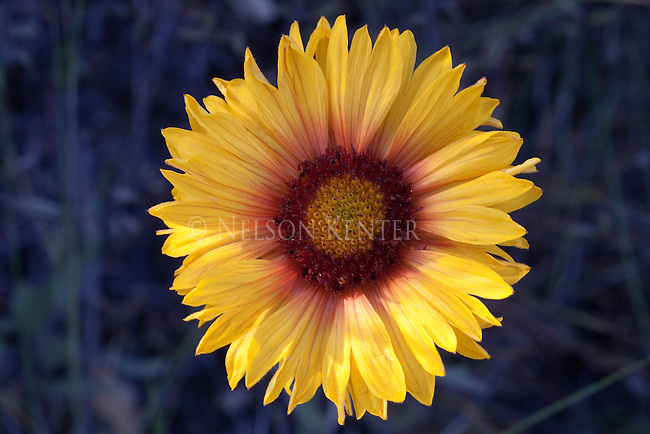 The large colorful Blanketflower grows on Montana grasslands and forests.