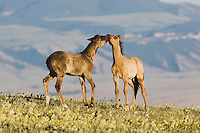 Mustang Horse (Equus caballus), colts playing, Pryor Mountain Wild Horse Range, Montana, USA