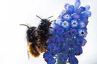 Gehörnte Mauerbiene, Paarung, Kopulation, Kopula, Männchen und Weibchen, Osmia cornuta, European orchard bee, orchard bee, hornfaced bee, male and female, pairing, L'osmie cornue, Mauerbiene, Mauerbienen, Mason bee, mason bees