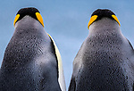 South Georgia Island (British Overseas Territory) , king penguin (Aptenodytes patagonicus)