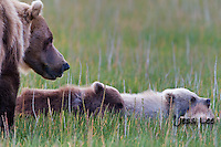 A photo of a Alaska coastal brown bear sow and cub in the fresh green grass. Grizzly Bear or brown bear alaska Alaska Brown bears also known as Costal Grizzlies or grizzly bears Grizzly Bear Photos, Alaska Brown Bear with cubs. Purchase grizzly bear fine art limited edition prints here Grizzly Bear Photo Bear Photos,