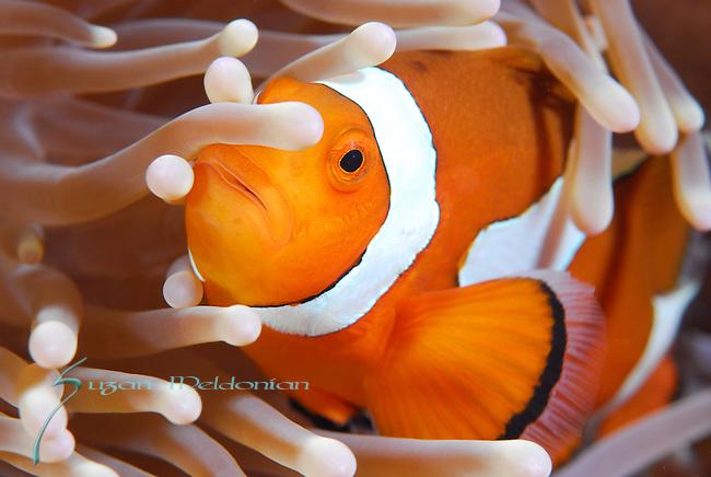 Anemone Fish , Underwater macro marine life images;  Photographed in Tulamben; Liberty Resort; Indonesia.Underwater Macro Photographer on FB 2nd Annual event
