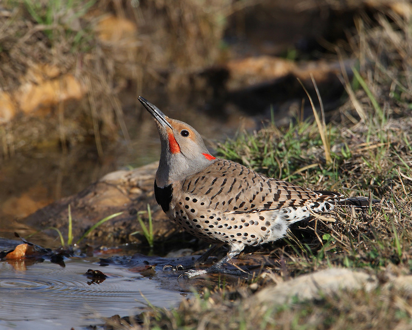 When Northern Flickers fly, you'll see a flash of color in the wings – yellow if you're in the East, red if you're in the West – and a bright white flash on the rump. From the woodpecker family of birds(Picidae).