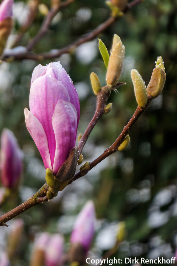 blühende Magnolie, Hamburg, Deutschland, Europa<br /> blooming magnolia, Hamburg, Germany, Europe