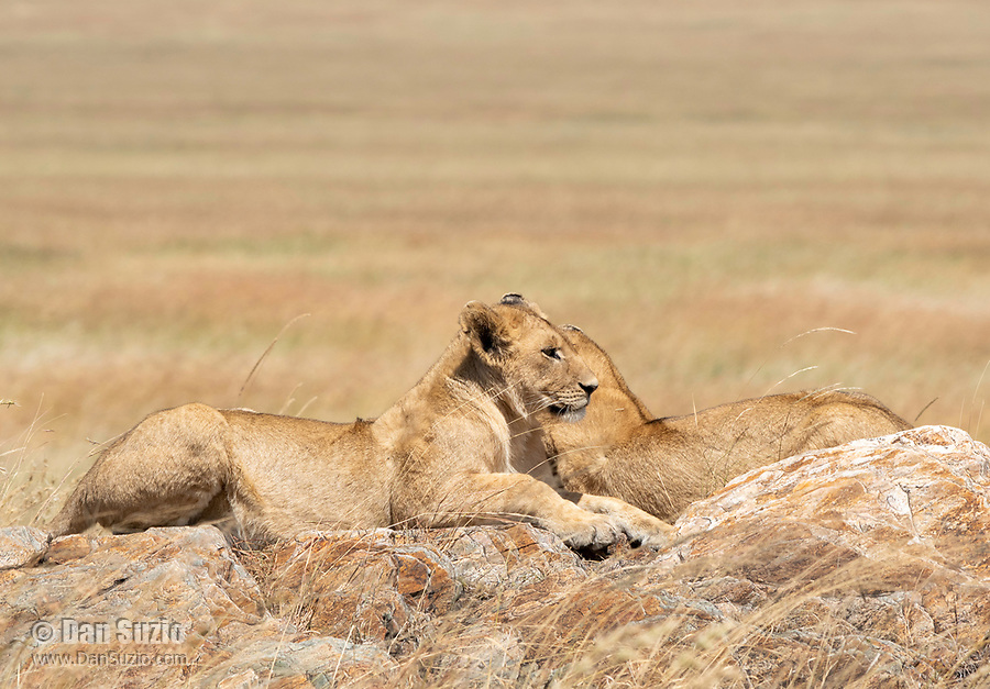 Two Lion cubs, Panthera leo melanochaita, in Serengeti National Park, Tanzania