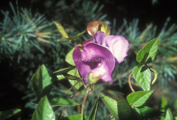 Vigna caracalla aka Phaseolus caracalla, Snail Vine in flower, a climbing plant beloved by Thomas Jefferson and grown in colonial times, an heirloom vine that resembles something else