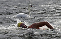 29/08/15<br />  <br /> Kevin Walsh passes a swan early in the race. Strong tail winds are helping towards beating his target time of five and a half hours.<br /> <br /> Competitors take part in the annual 10.5 mile swim along the length of Lake Windermere (Britain's longest lake) in the Cumbrian Lake District. Twenty swimmers (12 female and 8 men) started today's event run by the British Long Distance Swimming Association.<br /> <br /> All Rights Reserved - F Stop Press.  www.fstoppress.com. Tel: +44 (0)1335 418365 +44(0)7765 242650