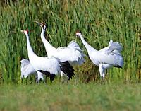 Adult whooping crane pair dancing