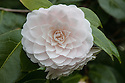 Camellia japonica 'Twilight', mid April. Very pale pink flowers.