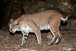 Bobcat walking left in boulder/rock habitat
