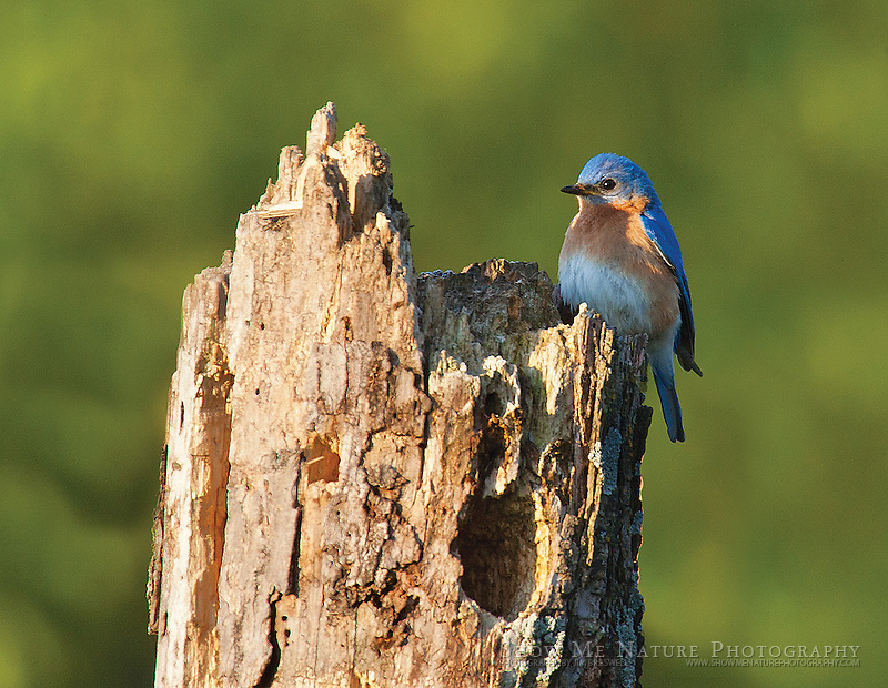 """Boxed set of 10 Eastern Bluebird note cards (folded, blank inside), 10 cards of the pictured image, and 10 blank, white envelopes. To purchase, click on image until a """"Buy Prints"""" button appears above the image."""