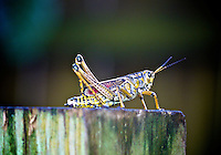 A Southeatsern Lubber Grasshopper on a fence post in Holly Hill, FL.  (Photo by Brian Cleary/www.bcpix.com)