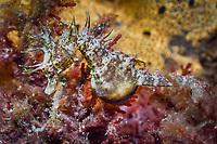 Shorthead Seahorse, Hippocampus breviceps, pregnant male, Edithburg, South Australia, Australia