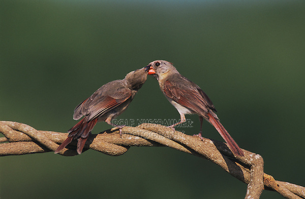 Northern Cardinal, Cardinalis cardinalis,female feeding young, Lake Corpus Christi, Texas, USA