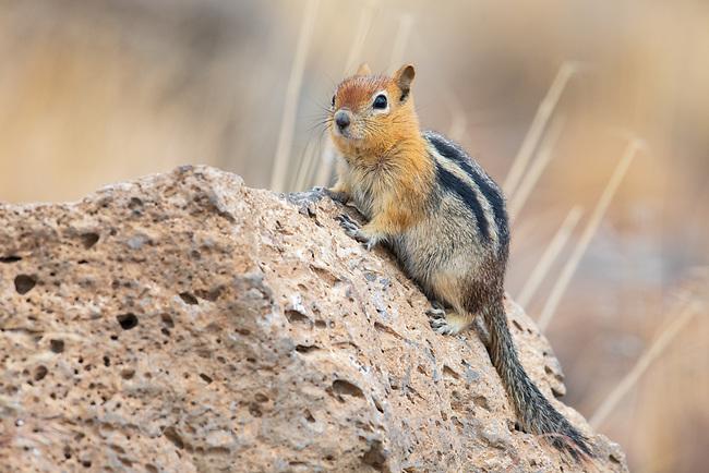 Golden-mantled Ground Squirrel (Callospermophilus lateralis). Deschutes National Forest, Oregon. September.