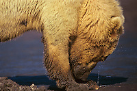 Grizzly Bear opening a razor clam it has dug up on an Alaskan Peninsula beach, Katmai National Park.  The clam is squirting water.