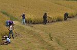 Farmers working on a paddy field at Wangdue. Arindam Mukherjee..