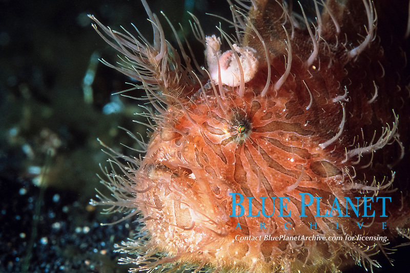 striped anglerfish or hairy anglerfish, Antennarius striatus, showing lure on head, used to catch prey, has been known to inflate itself, Indonesia (Indian Ocean)