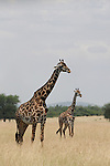 Giraffes from the Maasai, Africa