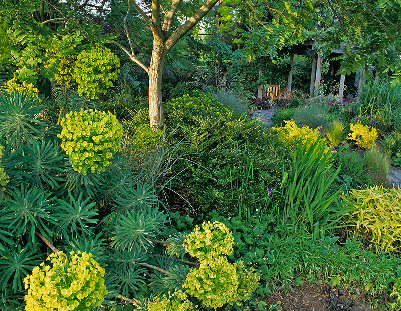 Spurge (Euphorbiaceae characias) and bench in Bellevue Botanical Garden, Bellevue, Washington