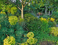 Spurge (Euphorbiaceae characias) and bench in Bellevue Botanical Garden, Bellevue, Washington