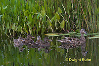 DG08-505z  Mallard Duck Mother and Young Ducklings, Anas platyrhynchos