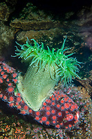 giant green anemone, family: Actiniidae, Anthopleura xanthogrammica, ( c ), native to the Pacific Ocean