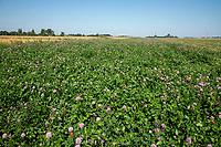 Clover field margin - Lincolnshire, September