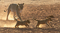 We had a couple of great sessions with lion cubs at MalaMala and Tswalu.<br /> <br /> Photo © Jennifer Waugh