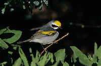 Golden-winged Warbler, Vermivora chrysoptera,male, South Padre Island, Texas, USA, May 2005