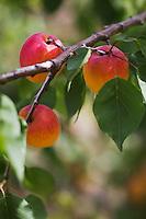 Europe/France/Midi-Pyrénées/82/Tarn-et-Garonne/Env  de Moissac: sur les Côteaux de Moissac: Verger d'abricotiers _ fruits sur l'arbre