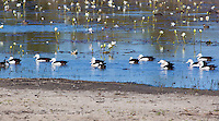Radjah Shelduck, near Normanton, Queensland, Australia