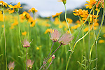 Arnica wildflower meadow and the seed plumes of Prairie Smoke flowers
