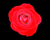 Red Rose on black background as seen from above