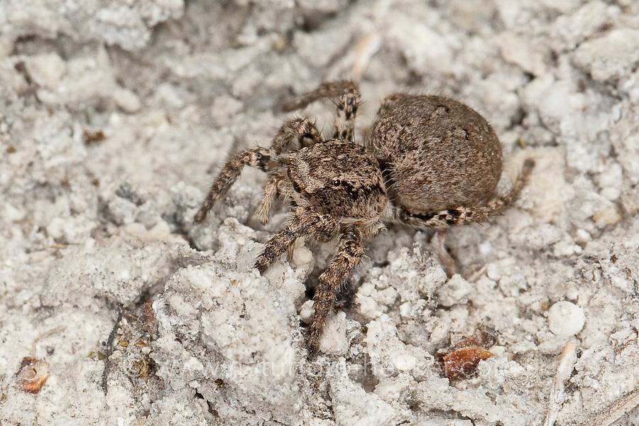 V-Fleck-Springspinne, Springspinne, Weibchen, Aelurillus v-insignitus, Attus v-insignitus, Ictidops v-insignitus, Springspinnen, Salticidae, jumping spider, jumping spiders