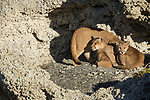 Mountain Lion (Puma concolor) mother and six month old female cub in shelter of calcium deposits, Sarmiento Lake, Torres del Paine National Park, Patagonia, Chile