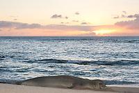 Hawaiian monk seal, Neomonachus schauinslandi, Critically Endangered endemic species, at sunset, west end of Molokai, USA, Pacific Ocean