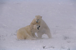 Two sub-adult male polar bears wrestle in Wapusk National Park, Manitoba, Canada.