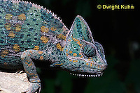CH51-677z  Female Veiled Chameleon in display color, Chamaeleo calyptratus
