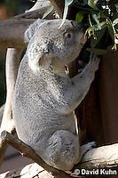 0802-1008  Koala Eating Eucalyptus Leaves, Eucalyptus Tree, Phascolarctos cinereus © David Kuhn/Dwight Kuhn Photography