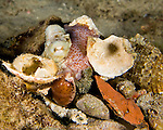 Diving Bonaire, Netherland Antilles -- A small octopus peers out from its hiding place under a mound of shells cast off from its meals.  (Look for the octopus' eye, looking like another shell at upper left of the pile, with its pinkish body and tentacle at center top.)  (Night dive at Kralendijk Pier).