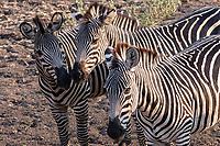 africa, Zambia, South Luangwa National Park,  Crawshay's Zebra