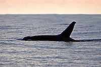 Killer Whales - Extremely Rare Transient Orcas of Hawaii